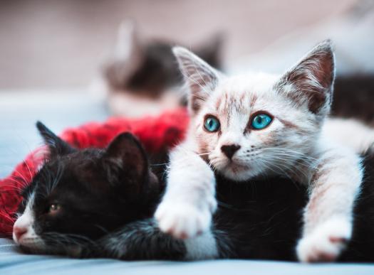 How Good Health Of Your Cat? Quiz