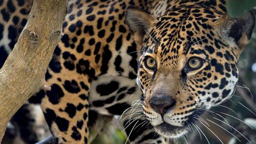 How Well Do You Know Jaguar? Quiz
