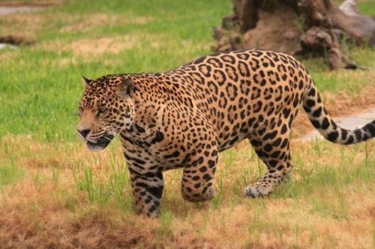 Do You Know Your Big Cat Species? Jaguar Quiz
