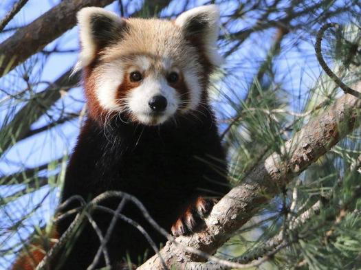 How Much You Know About Endangered Red Panda Quiz