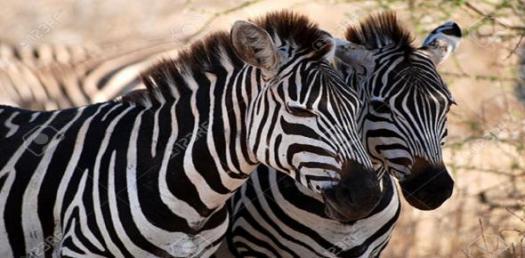 Zebra Short Story Quiz