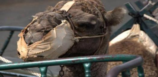Test Your Knowledge About Camel