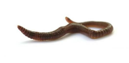 The Ultimate Animalia Quiz On Annelids!