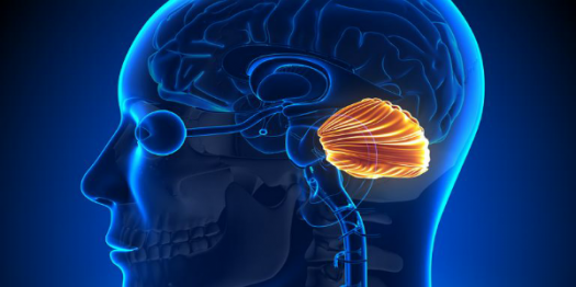 Cerebellum Science Trivia Facts! Quiz