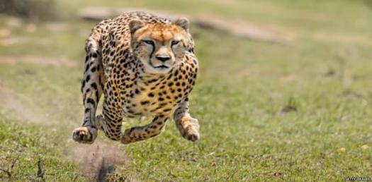 Characteristics Of Cheetah! Trivia Facts Quiz