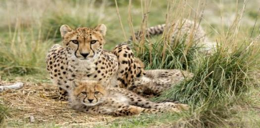 How Well Do You Know Cheetah Animal? Trivia Quiz