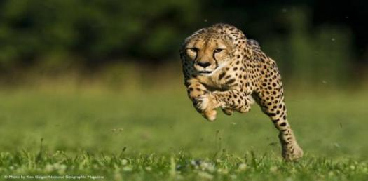 Speed And Acceleration Of Cheetah! Trivia Facts Quiz