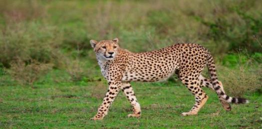 Do You Really Know About King Cheetah? Trivia Quiz