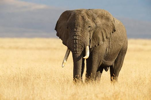 Ultimate Quiz On African Elephants