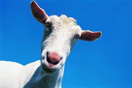 goat breed Quizzes & Trivia