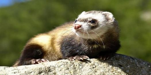 How Much Does This Guy Love Ferrets? Quiz