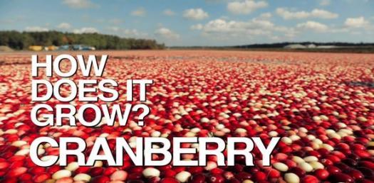 Cranberry Trivia Quiz