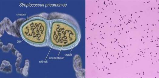 Streptococcus Trivia Quiz