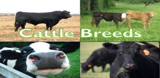 Popular Cattle Breeds Quiz