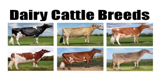 How well do you know about the Beef Cattle Breeds?