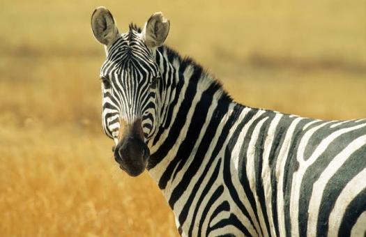 Zebra Physical Attributes! Trivia Questions Quiz