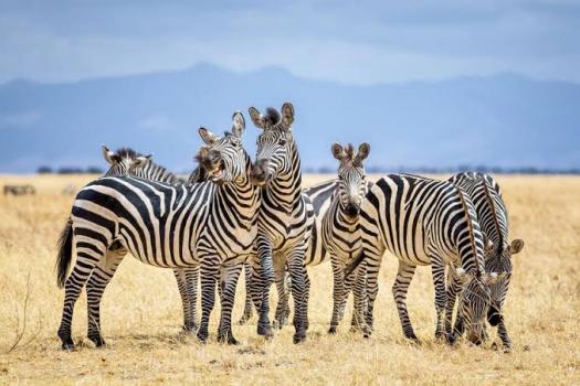 Zebra Senses And Diseases! Trivia Facts Quiz