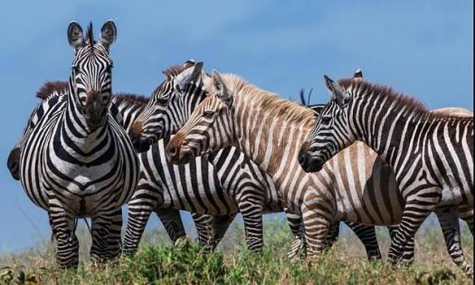 All About Plains Zebras! Trivia Quiz