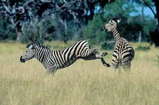 Interesting Trivia Facts About Zebra Reproduction! Quiz