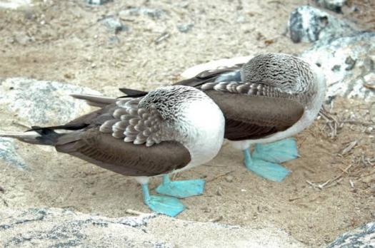 Quiz: Find Out Some Interesting Facts About Blue Footed Booby