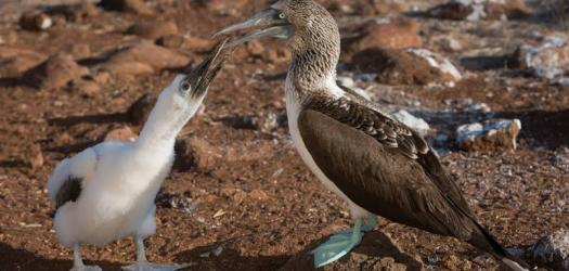 Blue Footed Booby Quiz: Take This Quiz On Beautiful Blueish Bird!