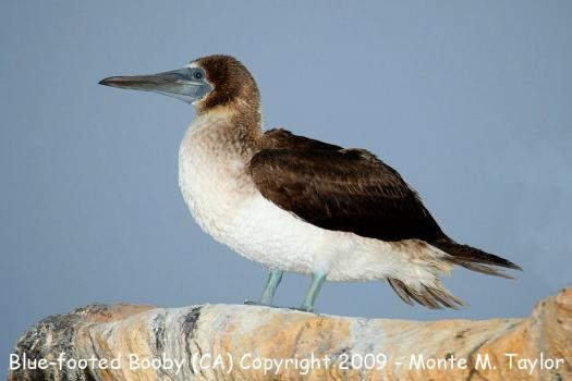 Take This Blue Footed Booby Marine Bird Quiz!