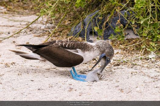 Are You Confident Enough To This Quiz On Blue Footed Booby?
