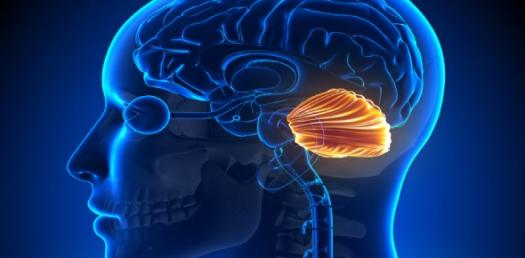 Semester 2 Neuro, Quiz 2 - Cerebellum