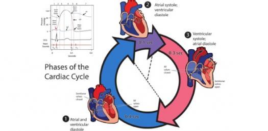 The Cardiac Cycle Step By Step Quiz