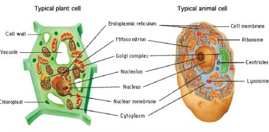plant and animal cell organelles quiz! proprofs quiz A Chart of Cell Organelles
