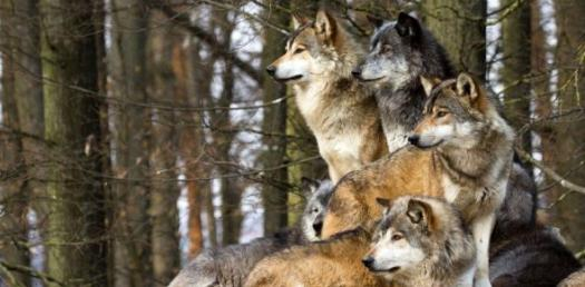 What Rank Are You In A Wolf Pack And What Do You Look Like