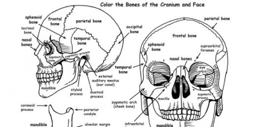 Blank Skull Diagram To Label - General Wiring Diagram