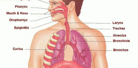 Respiratory System And Biological System Quiz