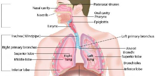 The Respiratory System Drugs