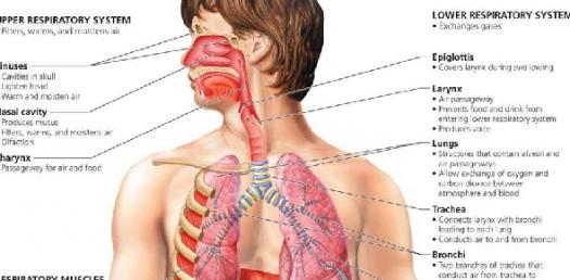 What Do You Know About The Respiratory System? Find Out In This Quiz!