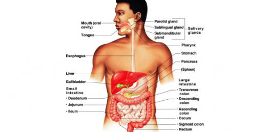 Digestive System - Level 2