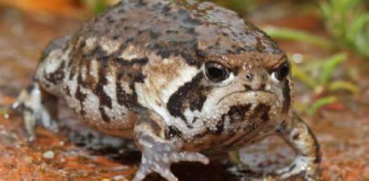 Frog Leg Muscle Anatomy