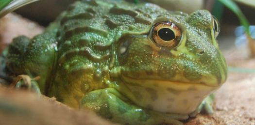 La: Frogs