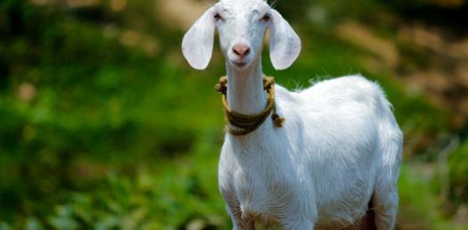 Goat Body Quiz