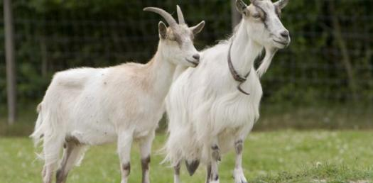 What Do You Know About Goats?