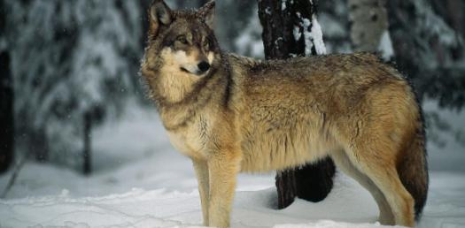Which Of My Wolf Characters From My Story Do You Suit Most?