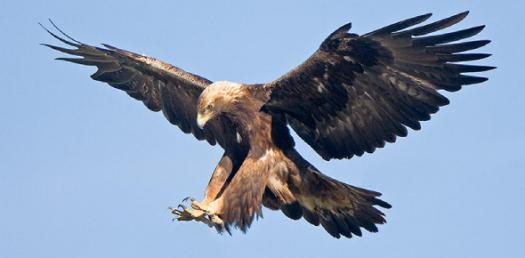 How Much Do You Know About Bald Eagles?