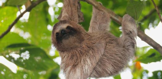 How Much Do You Know About Sloths?