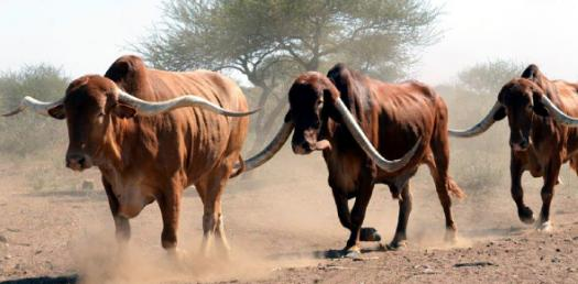 Cattle Sorting Team Quiz