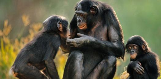 Experiments On Kipunji Monkey