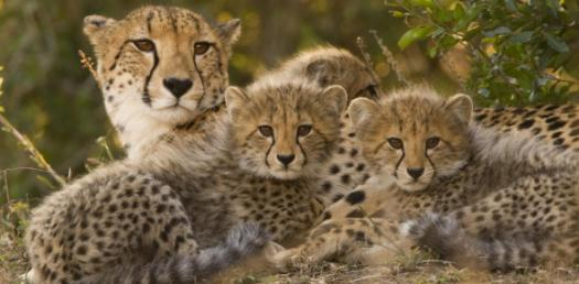 How Well Do You Know Cheetah?