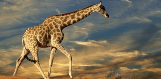 Do You Really Know Giraffes?