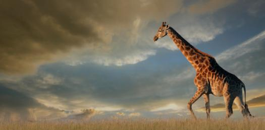 Take This Quiz To Know About Giraffe
