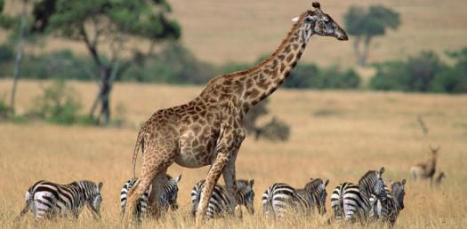 How Much Do You Love Giraffe`s