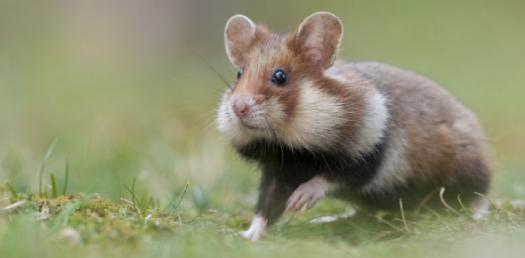 What Japanese Eraser Hamster Are You 2?